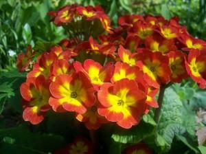 hollys-flower